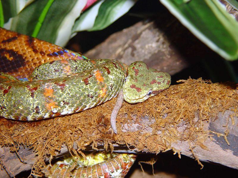 Bothriechis schlegelii <br /> Eyelash Viper