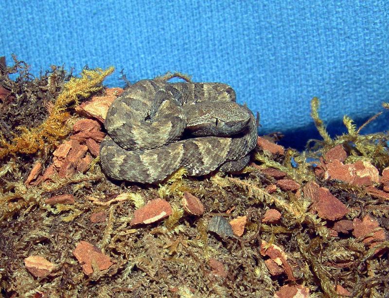 CBB05 Trinadad Common Lancehead(Bothrops atrox)<br /> F2 generation Dean Ripa bloodlines.<br /> My Collection