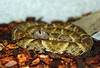 CBB05 Trinadad Common Lancehead(Bothrops atrox)<br /> F2 generation Dean Ripa bloodlines.<br /> My Collection