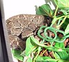Bothrops colombiensis