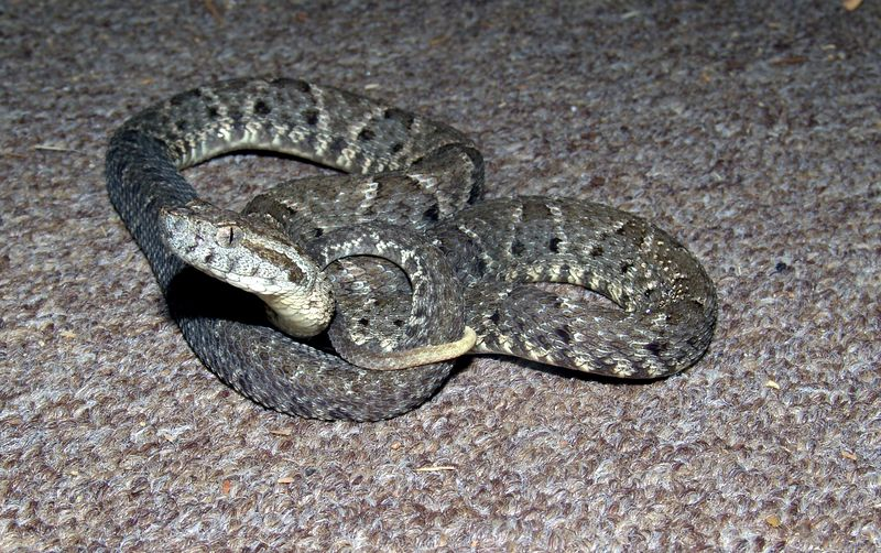 Bothrops colombiensis<br /> Courtesy of Joe Switalski