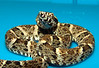 Whitetail lancehead<br /> Bothrops leucurus<br /> Courtesy of Matt Harris