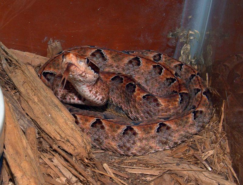 Calloselasma rhodostoma,<br /> Maylayan Pit Viper<br /> Courtesy of Dan Scolaro