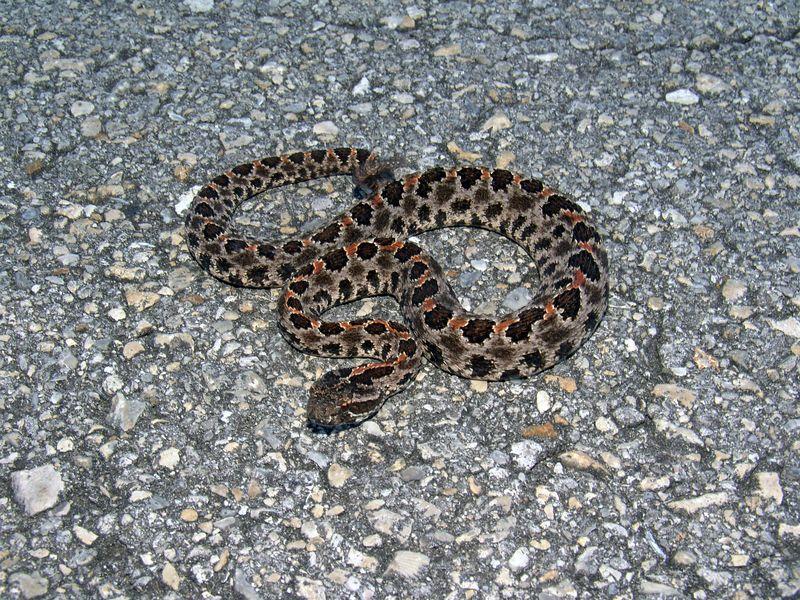 South Florida Pygmy Rattlesnakes (Sistrurus miliarius) in habitat.
