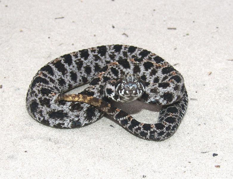 Sistrurus miliarius barbouri<br /> Florida Pygmy Rattlesnake