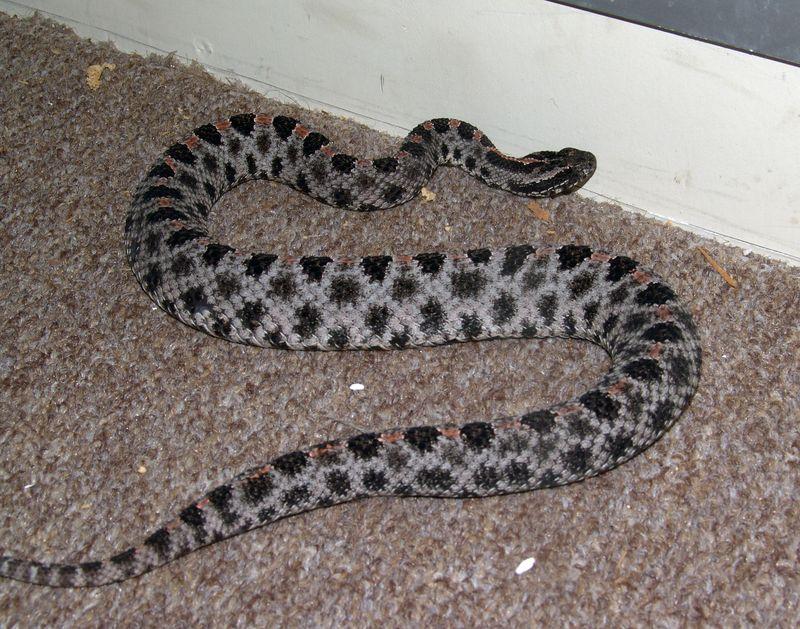Pygmy Rattlesnake,Sistrurus miliarius<br /> Courtesy of Joe Switalski