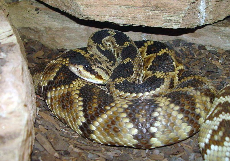 Crotalus adamanteus<br /> Eastern Diamondback Rattlesnake
