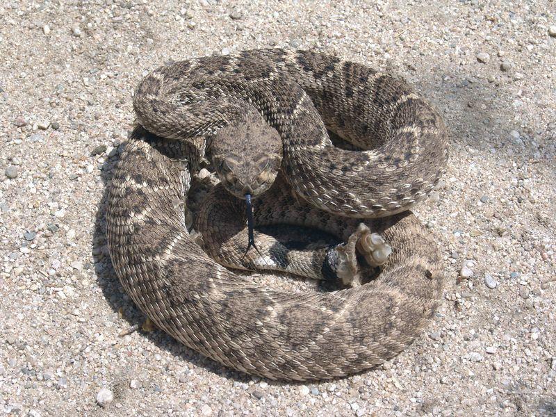 Crotalus atrox<br /> Western Diamondback Rattlesnake I found just a few feet off a busy hiking trail in an AZ state park.