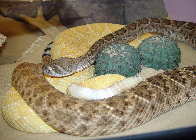 Crotalus atrox<br /> Western Diamondback Rattlesnake