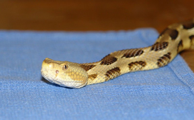 Timber Rattlesnake<br /> <br /> Parents were from the Blue Mtn, PA
