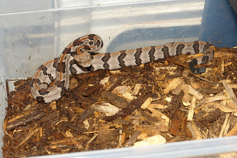 """Timber Rattlesnake<br /> This is one of the very Neurotoxic """"Oceola Canebrakes"""""""