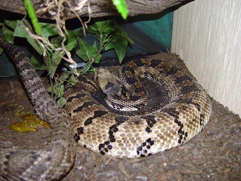 Crotalus horridus<br /> Timber Rattlesnake