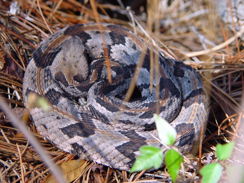 "Crotalus horridus<br /> Timber Rattlesnake<br /> This is one of the very Neurotoxic ""Oceola Canebrakes"" just out of it's den to soak up some sun."