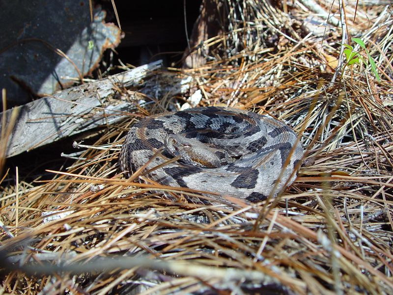 """Crotalus horridus<br /> Timber Rattlesnake<br /> This is one of the very Neurotoxic """"Oceola Canebrakes"""" just out of it's den to soak up some sun."""