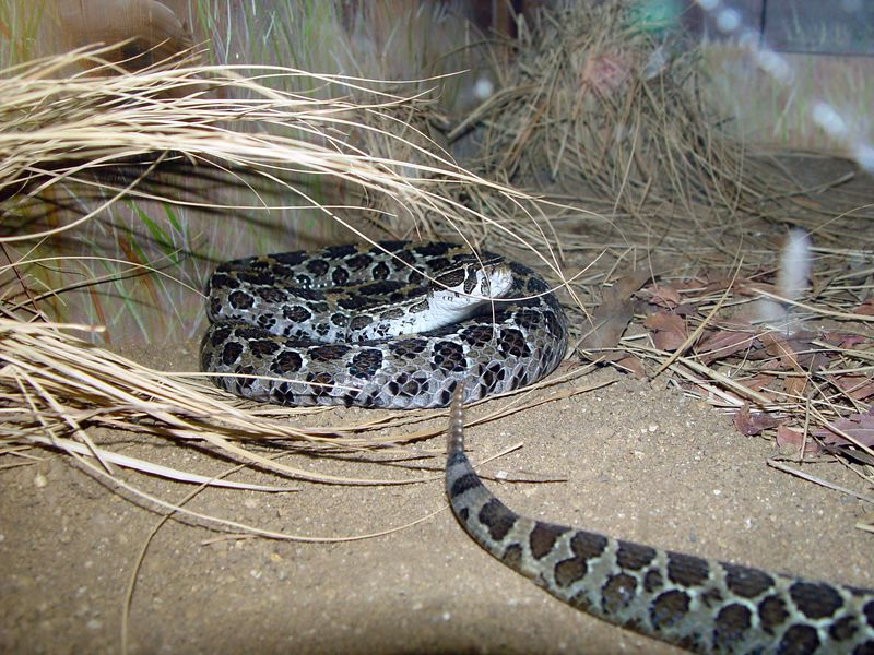 Crotalus polystictus <br /> Mexican Lancehead Rattlesnake