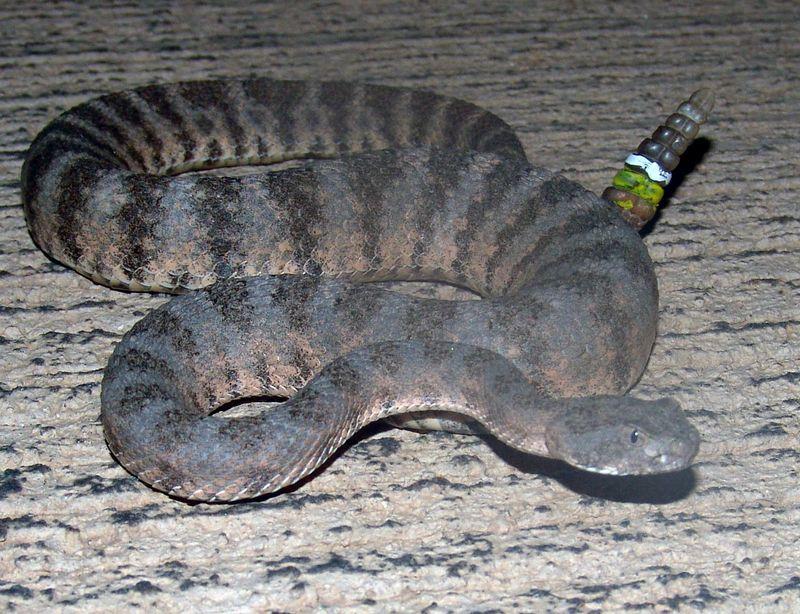 Crotalus tigris <br /> Tiger Rattlesnake