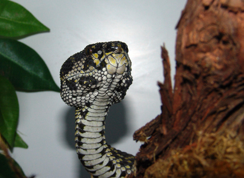 Mangrove Pit Viper, <br /> Cryptelytrops purpureomaculatus<br /> My Collection