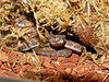 Mangrove Pit Viper, Cryptelytrops purpureomaculatus