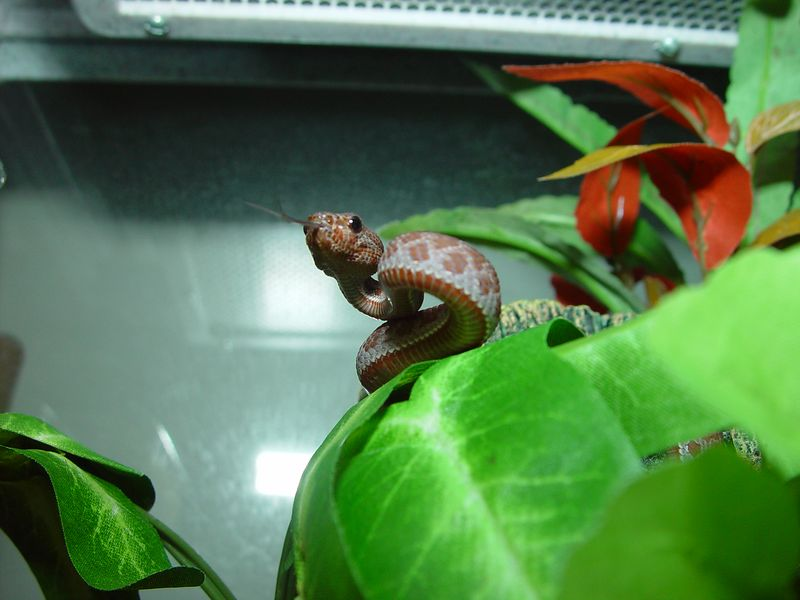 Mangrove Pit Viper, Cryptelytrops purpureomaculatus <br /> My Collection