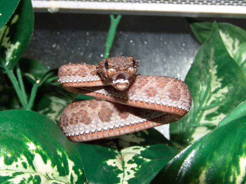 Mangrove Pit Viper, Cryptelytrops purpureomaculatus<br /> My Collection<br /> <br /> She is a very fiesty girl!
