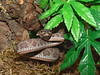 Mangrove Pit Viper, Cryptelytrops purpureomaculatus<br /> My Collection