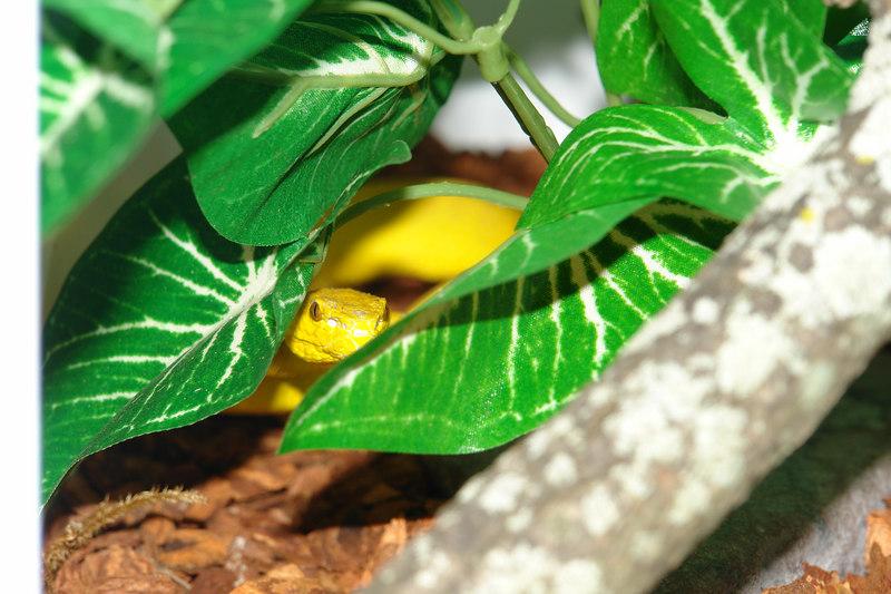 Wetar Island Tree Viper, <br /> Cryptelytrops insularis<br /> My Collection