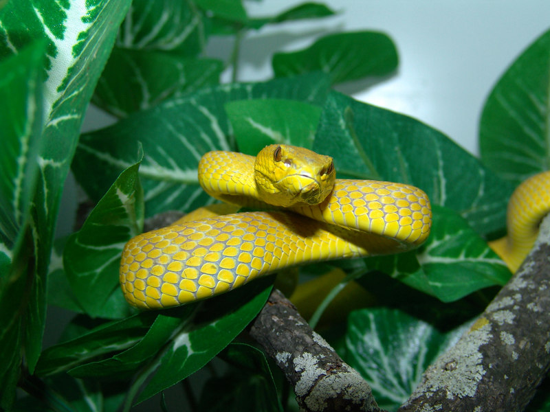 Wetar Island Tree Viper, <br /> Cryptelytrops insularis<br /> My Collection