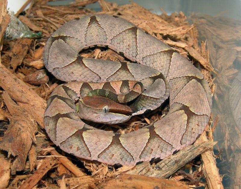 SharpNose PitViper, Deinagkistrodon acutus
