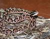 Gloydius blomhoffi <br /> Mamushi<br /> Courtesy of Dan Scolaro