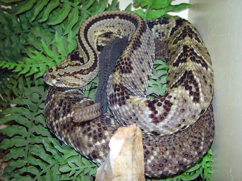 Crotalus durissus<br /> Cascabel Rattlesnake