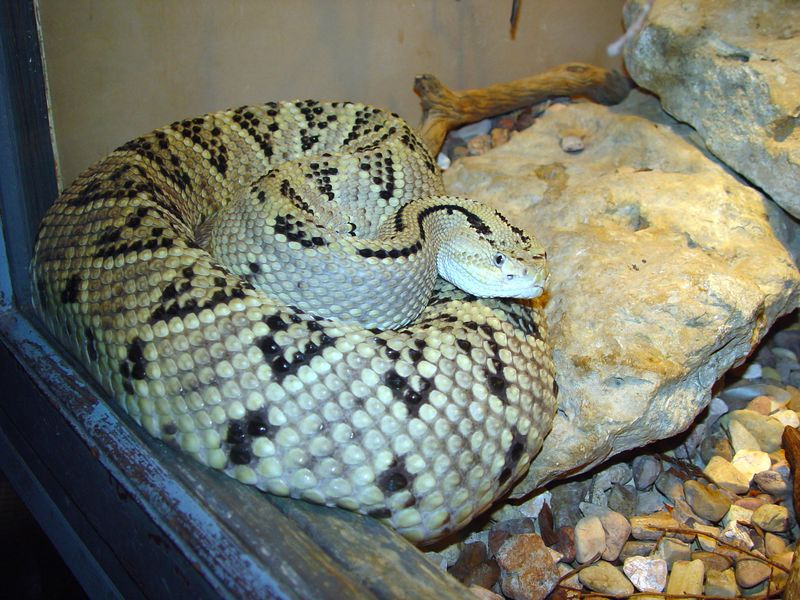 Crotalus basiliscus <br /> Basilisk Rattlesnake