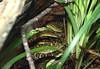 Habu<br /> Protobothrops flavoviridis<br /> San Antonio Zoo