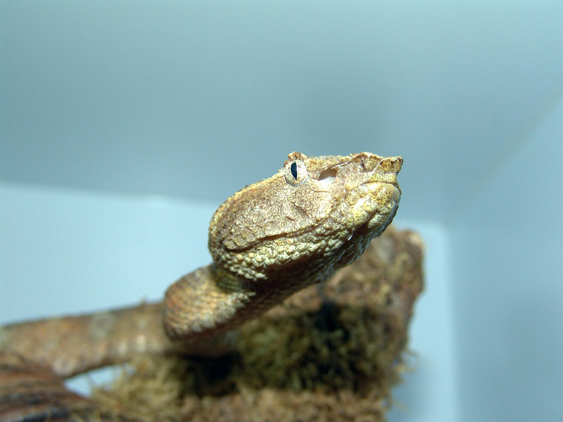 Borneo Pit Viper<br /> Trimeresurus borneensis<br /> My Collection