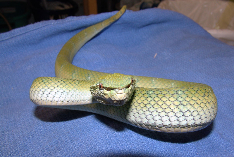 """T. subannulatus #2  Feeding on f/t mice and has been wormed.<br /> """"Blue Borneo"""" <br /> <br /> $300.00"""