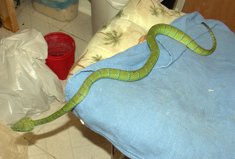 """T. wagleri #3<br /> """"Sulawesi"""" Has been treated for parasites.<br /> <br /> $200.00"""