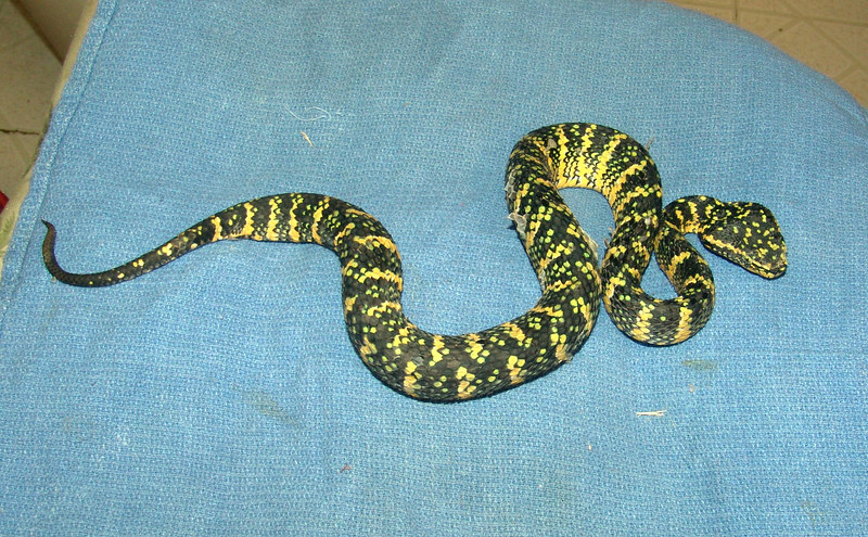 """T. wagleri #1 Temple Phase<br /> $150.00  <br /> <br /> Note: Was in the process of shedding.  She has had her first """"worming"""" and is taking f/t rodents off the forceps."""