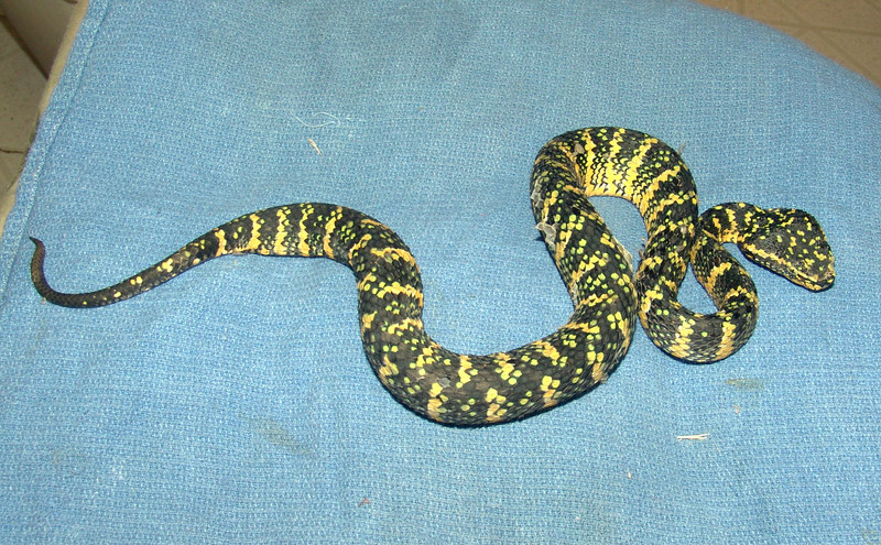 T. wagleri #1<br /> $150.00  <br /> <br /> Note: Was in the process of shedding