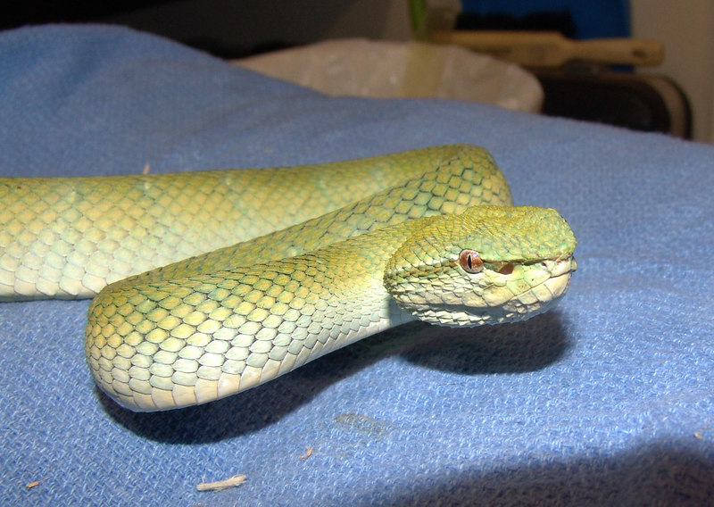 """T. subannulatus #2  Feeding on f/t mice and has been wormed.<br /> """"Blue Borneo"""" <br /> <br /> $300.0000"""