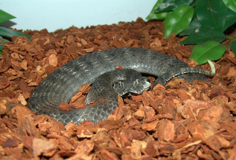 PNG Death Adder<br /> Acanthophis lavis<br /> My Collection