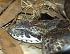 PNG Death Adder<br /> Acanthophis lavis<br /> Australia Reptile Park