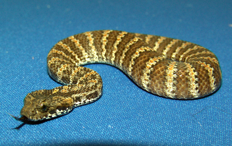 PNG Death Adder<br /> Acanthophis rugosus<br /> My Collection