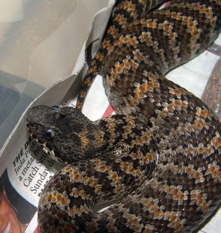 PNG Death Adder<br /> Acanthophis rugosus<br /> Courtesy of Joe Switalski