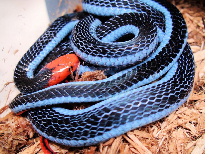 Calliophis Bivirgatus For Sale Calliophis Bivirgatus