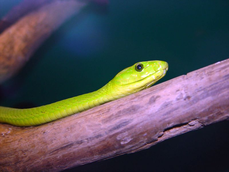 Eastern Green Mamba, Dendroaspis angusticeps<br /> Courtesy of George Van Horn