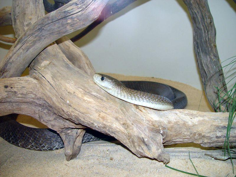 Black Mamba, Dendroaspis polylepsis<br /> Clyde Peeling's Reptile Land