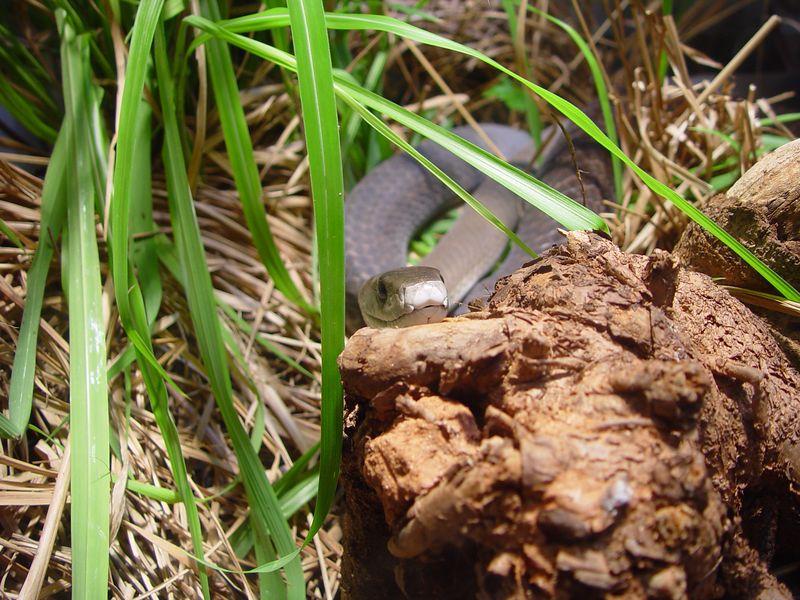 Black Mamba, Dendroaspis polylepsis<br /> Zoo Atlanta