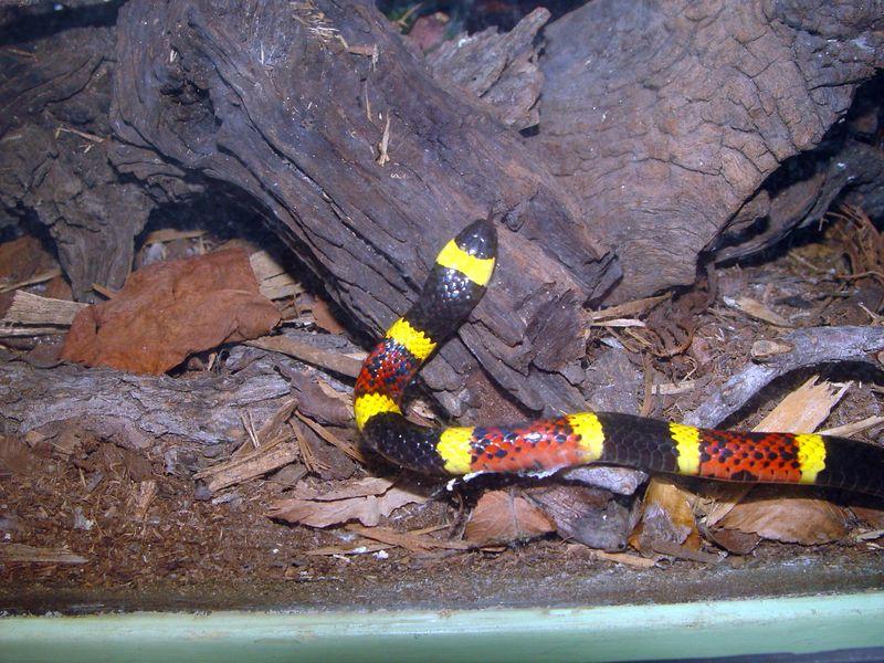 Micurus fulvus, Eastern Coral Snake<br /> American International Rattlesnake Museum