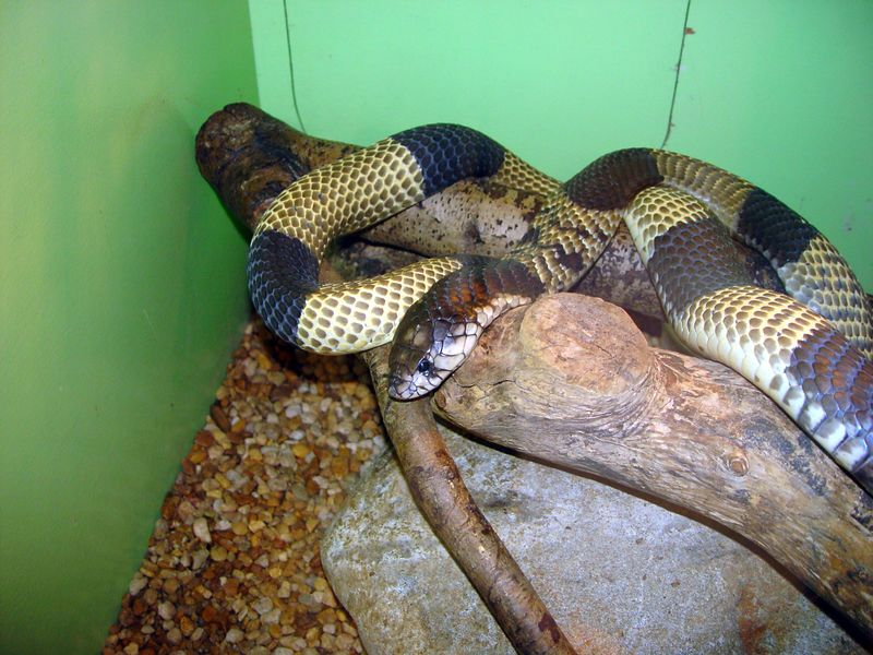 Banded Egyptian Cobra, Naja haje<br /> Courtesy of George Van Horn
