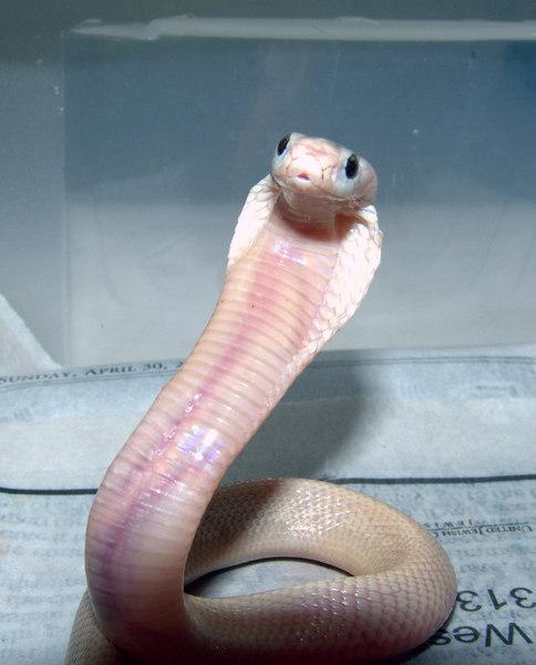Suphan Cobra, Naja kaouthia suphanensis<br /> Courtesy of Joe Switalski