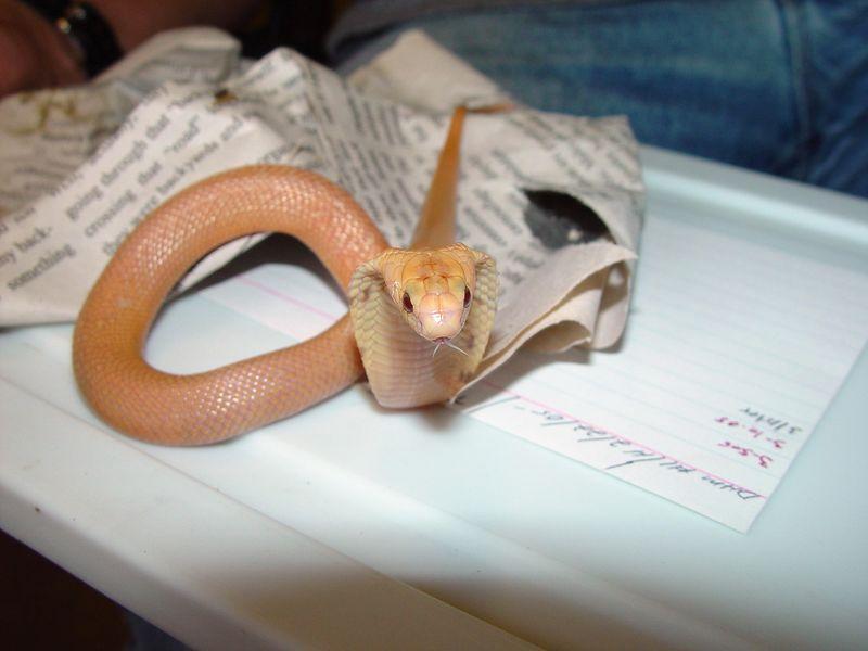 """Sunset"" Monocle Cobra, Naja kaouthia<br /> Courtesy of Mitch at Diamond Reptile Breeders"